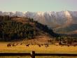 horses-cattle